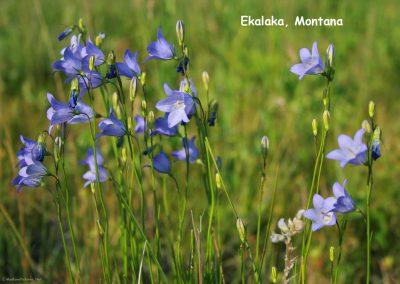 62907 Ekalaka Lantis Bell flower hort 8193_MontanaPictures_Net