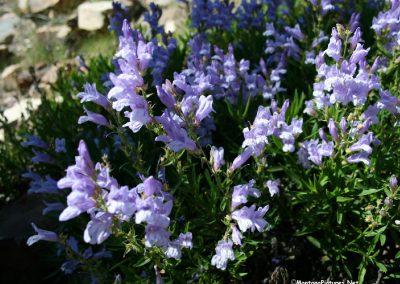 70708 bigsky 6430 flowers_MontanaPictures_Net