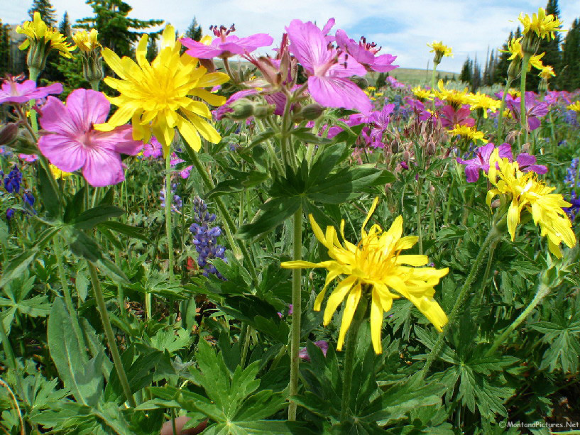 Montana flower gallery 71312 wheel yellow pink flowers 7679montanapicturesnet mightylinksfo