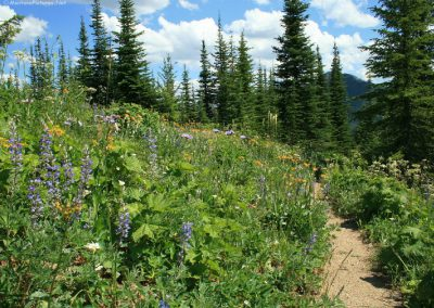 72708 scalp lupine 0454 single_MontanaPictures_Net