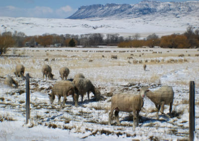 30309 bt springdale 4747 sheep_MOntanaPictures_Net