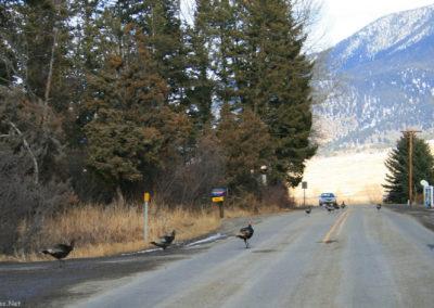 30709 livingston turkey 0114 jam_MontanaPictures_Net