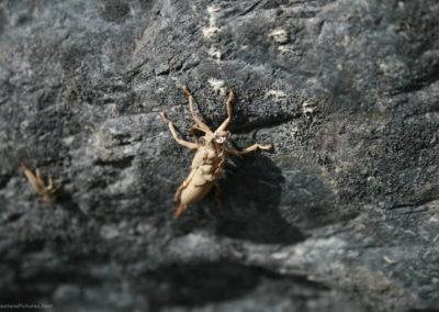 61615 blackfoot stonefly 2137 case_MontanaPictures_Net