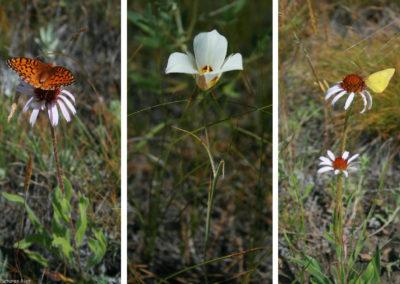 63007 ekalaka flowers_MontanaPictures_Net