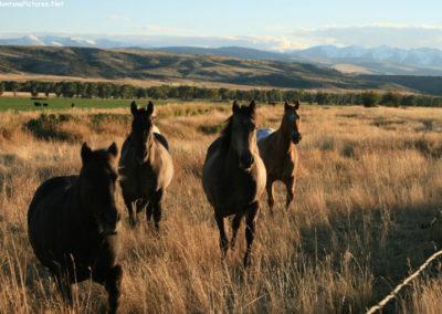 92917 livingston horses 6330_montanapictures_net