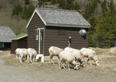 41903 many glacier sheep 0794_MontanaPictures_Net