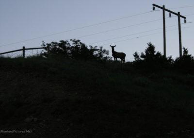 61216_Drumnond_elk_MontanaPictures_Net