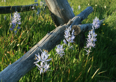 62608 camas 5436 fence_MontanaPictures_Net