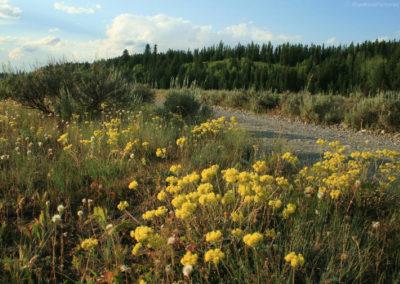 72208 round prairie buckwheat 8113_MontanaPictures_Net
