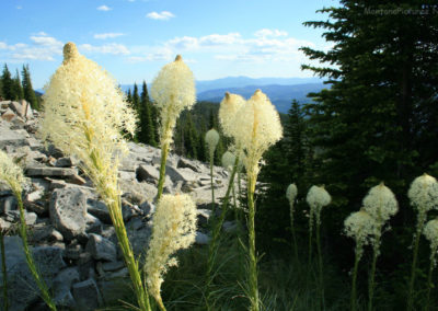 grass_71708_52514_lookout_beargrass 3577_MontanaPictures_Net