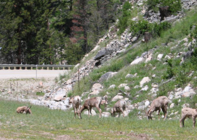 60207 sula sheep 0754_MontanaPictures_Net