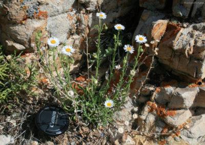 61812 bighorn rock 4937 little daisy_MontanaPictures_Net