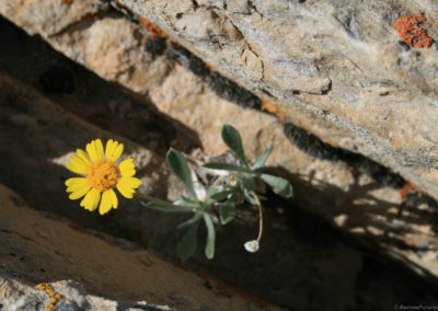 61812 bighorn rock 4947 yellow daisy_MontanaPictures_Net