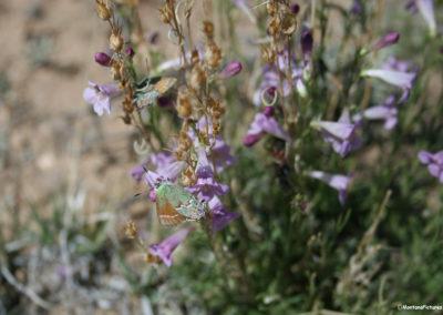 61812 bighorn rock 5055 butterflies_MontanaPictures_Net
