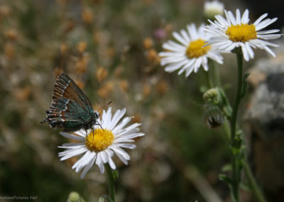61812 bighorn rock 5217 daisy butterfly_MontanaPictures_Net