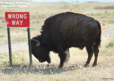 51708 bison road sign 1590 singlemontanapictures_net_1