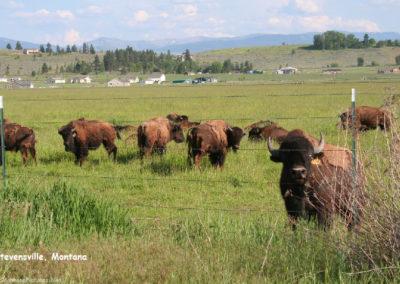 60107 steve met buffalo 9157_MontanaPictures_Net
