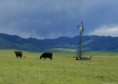 60610 cascade 1373 storm cows_MontanaPictures_Net