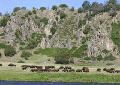 62106 norris greycliff buffalo_MontanaPictures_Net_USE