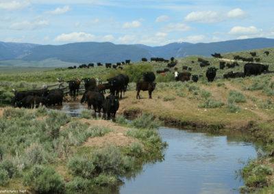 62608 big hole battle 6247 cattle_MontanaPictures_Net