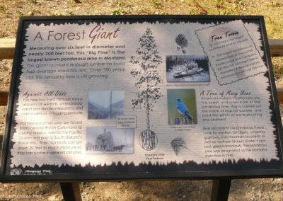 71414 Alberton Big Pine Biggest Ponderosa Pine Tree_MontanaPictures_Net