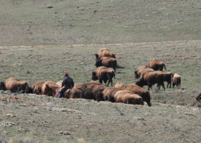 112804_50408 gardiner buffalo move_MontanaPictures_Net
