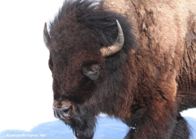 40308 cooke bison1413_MontanaPictures_Net