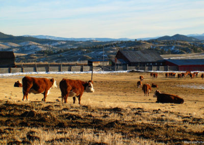 10506 Marysville herefords_MontanaPictures_Net