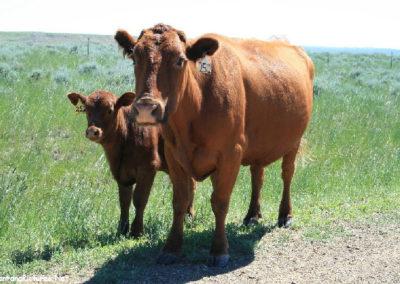 62610 war horse cow 6795 calf_MontanaPictures_Net
