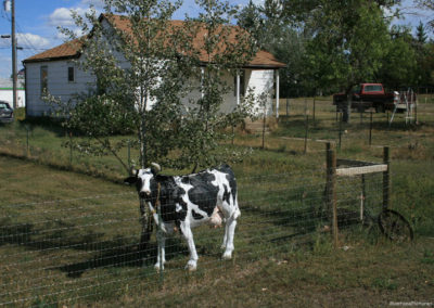 90710 big sandy 9316 cow_MontanaPictures_Net