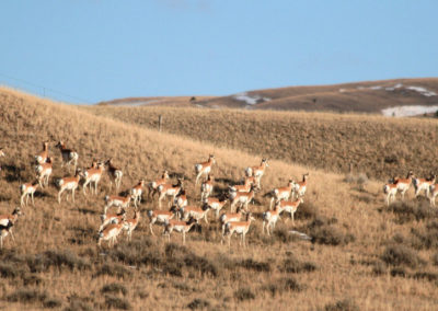 21009 smith antelope 4347_MontanaPictures_Net