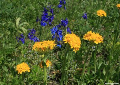 62508 haggin mule ranch flower 4949 orange_MontanaPictures_Net